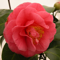#camelia #camellia #jarineriefarrenq #collectioncamellias2018